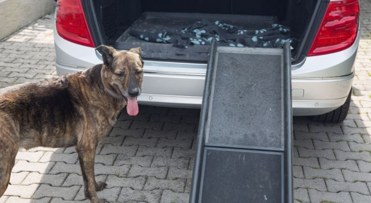 Gray Happy Dog Want to get in the car by dog ramp