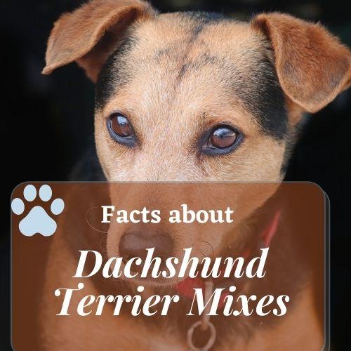 Cute Dachshund Terrier Mixes