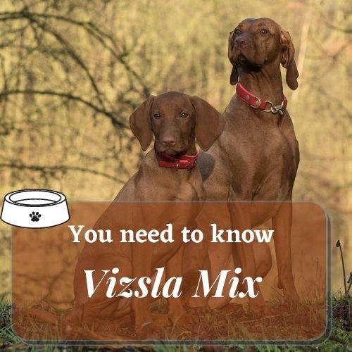 Vizsla Mix two big dog
